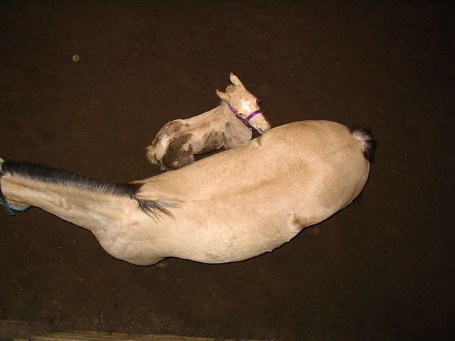 Stute und Fohlen Foto von Derrick Coetzee via Wikipedia